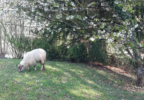 J'ai des brebis dans mon jardin …