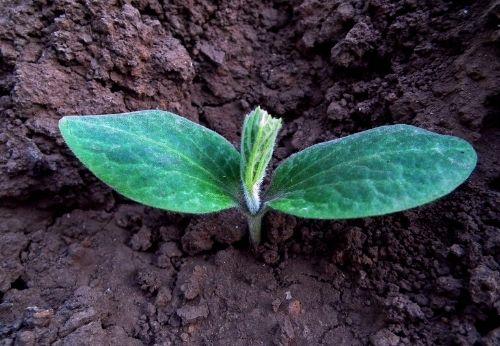 Planter ses semis